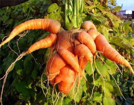 Почему морковь корявая и как этого избежать