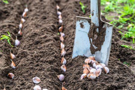 Главные правила посадки чеснока, чтобы получить хороший урожай