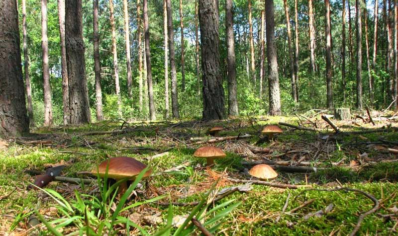 грибы в сосновом бору 2021