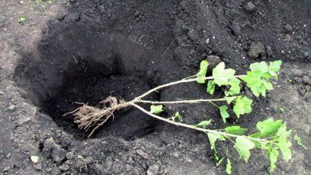 5 секретов, как правильно ухаживать за черной смородиной для отличного урожая