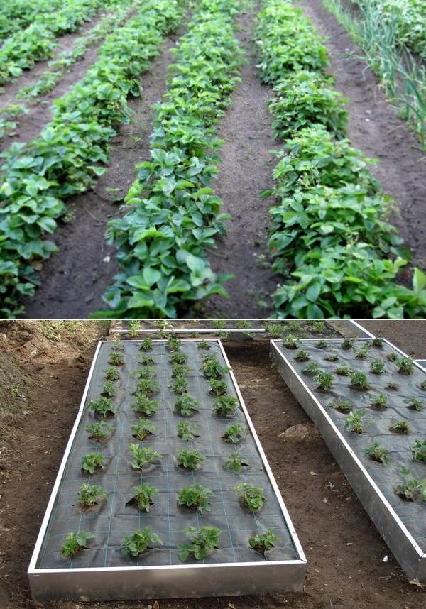 Сроки посадки молодых кустов клубники