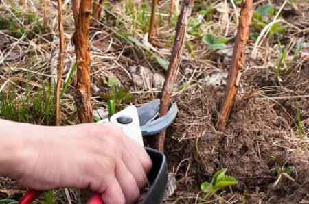 Особенности выращивания ремонтантной малины