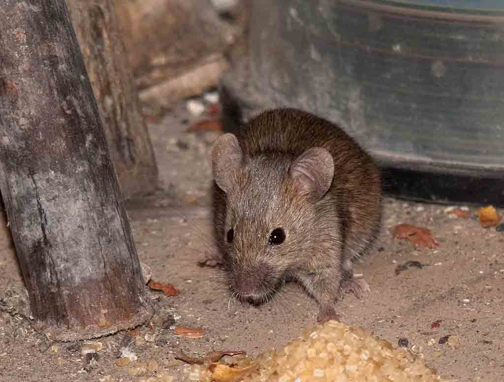 Как избавиться от мышей на даче - эффективные методы