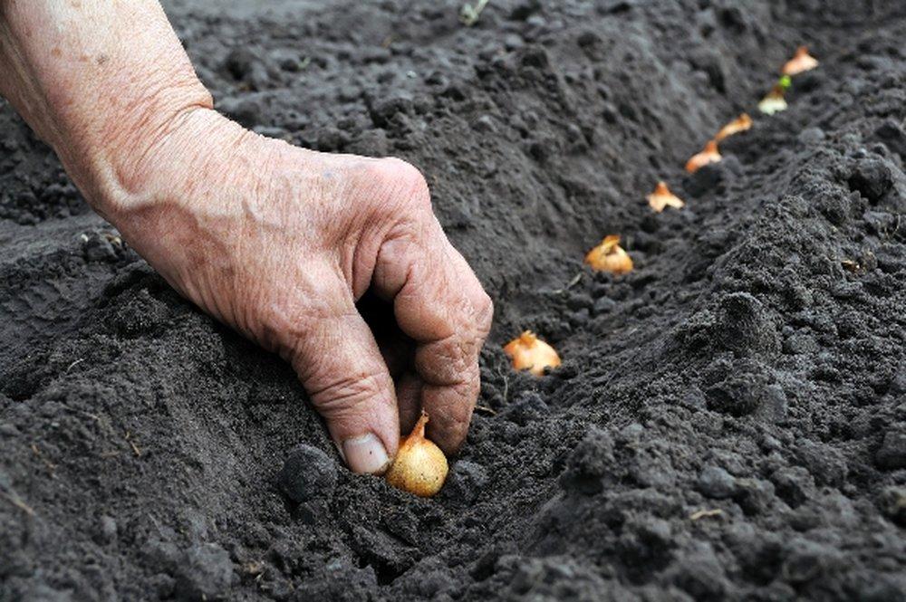 Как правильно выращивать лук на репку