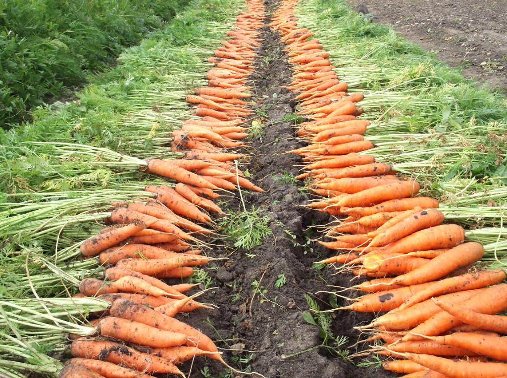Что нужно знать, чтобы вырастить хороший урожай моркови