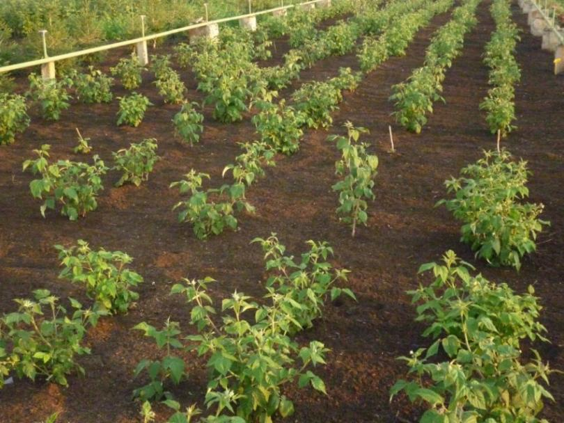 Правильная посадка малины, выбор участка и посадочного материала