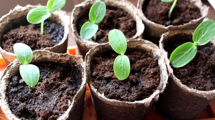 Основные правила выращивания огурцов в теплице