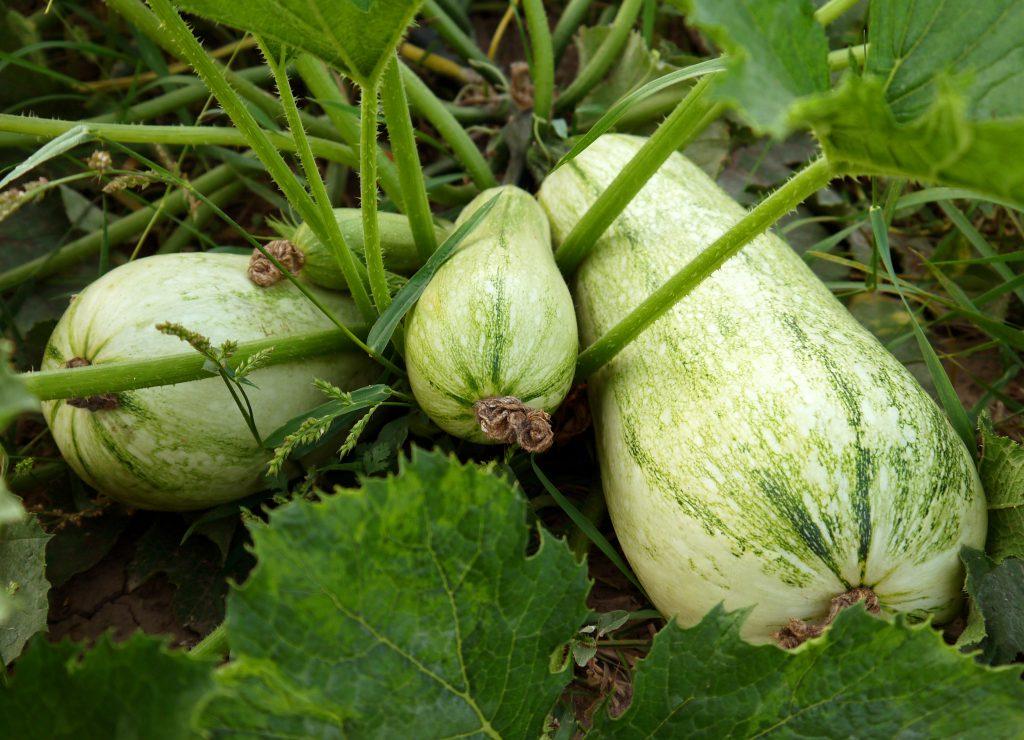 Что любит кабачок - секреты выращивания