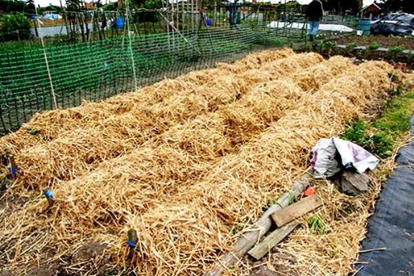 Как получить большой урожай картошки практически без усилий - проверенный способ