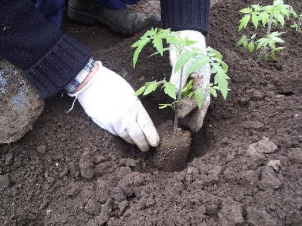 12 секретов выращивания лучших помидор