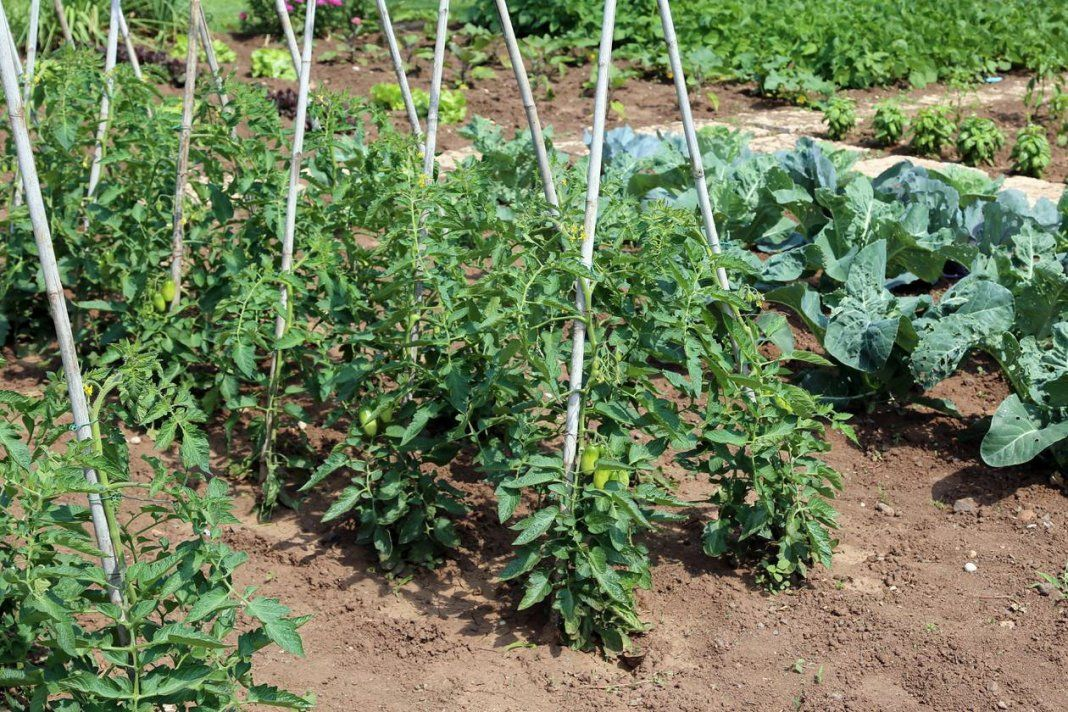 Советы по высадке рассады помидоров и перца