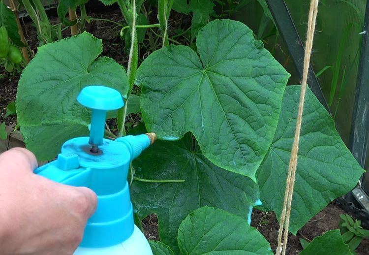 Подкормка и защита огурцов с помощью молока