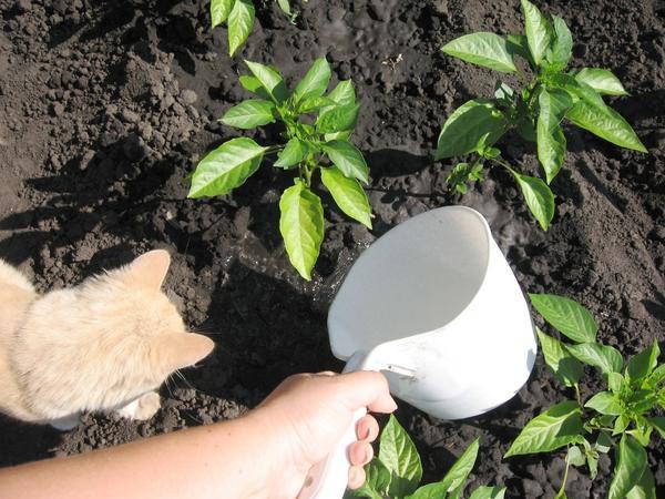 Выращивание болгарского перца в открытом грунте