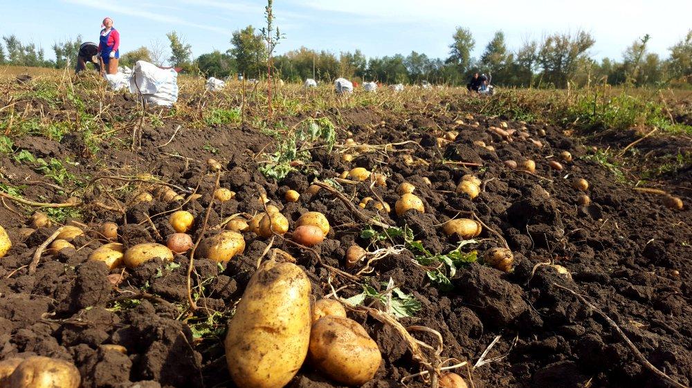 Мой секрет получения самого раннего урожая картошки