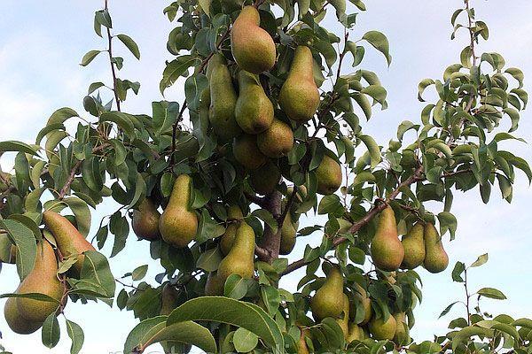Груша есть, а плодов нет, в чем причина