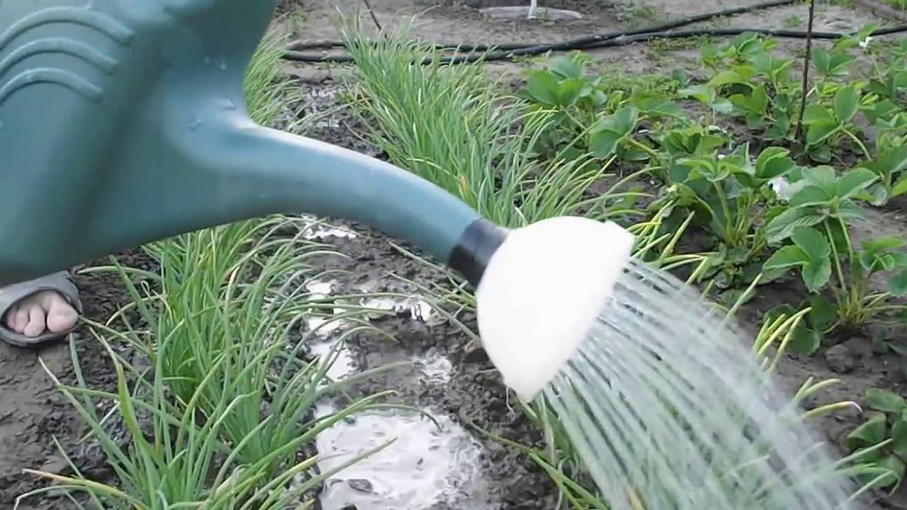 Как вырастить хороший лук