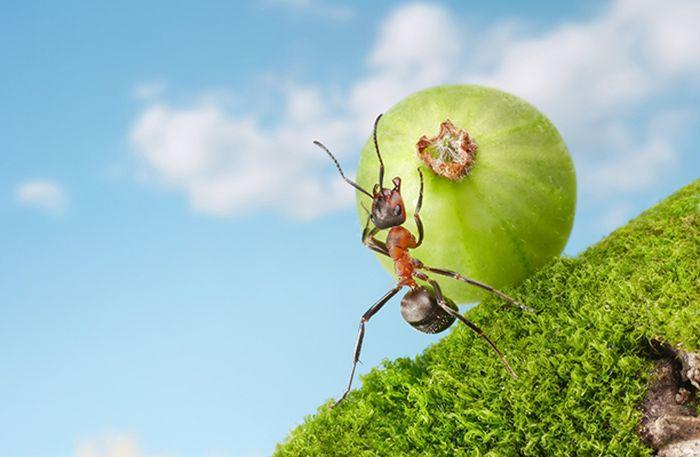 Как избавиться на огороде от муравьев - советуют опытные огородники
