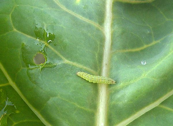 Подробное руководство по правильному сбору капусты и борьбе с вредителями и болезнями