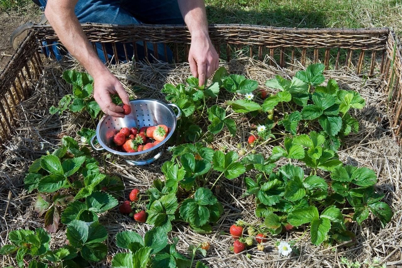 Почему клубника не плодоносит, 5 важных причин