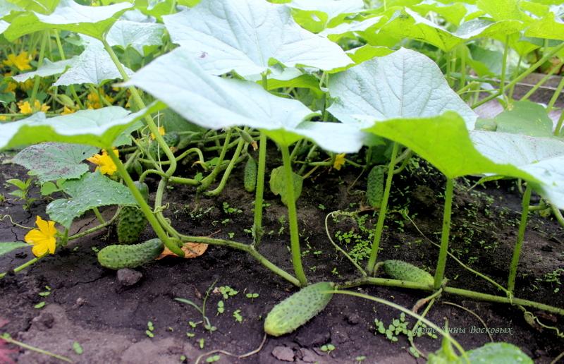 Причины горечи огуречных зеленцов