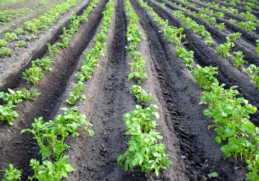 Окучивание картофеля: когда, сколько, зачем