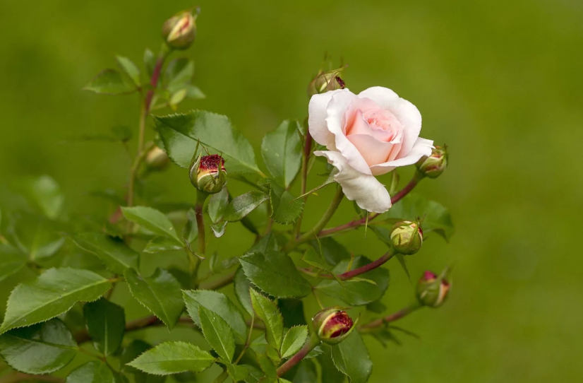 Омолаживание роз содой, секретный рецепт