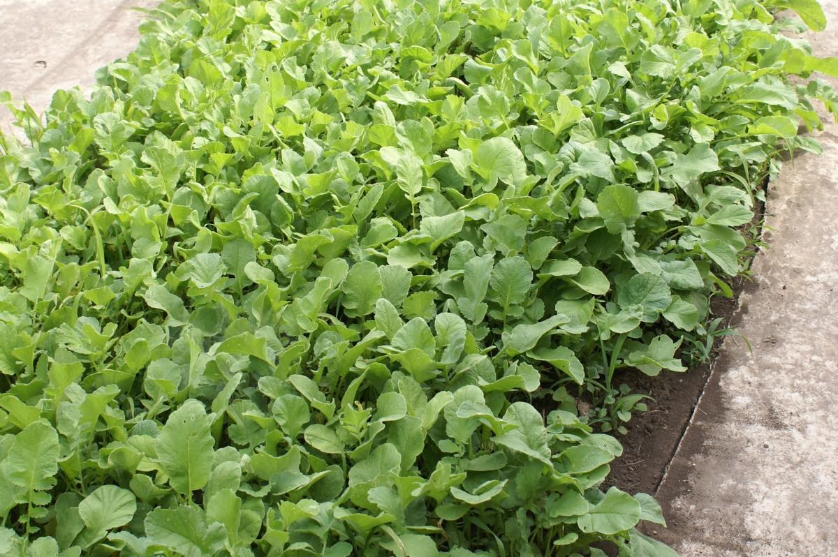 Лучшие растения-сидераты