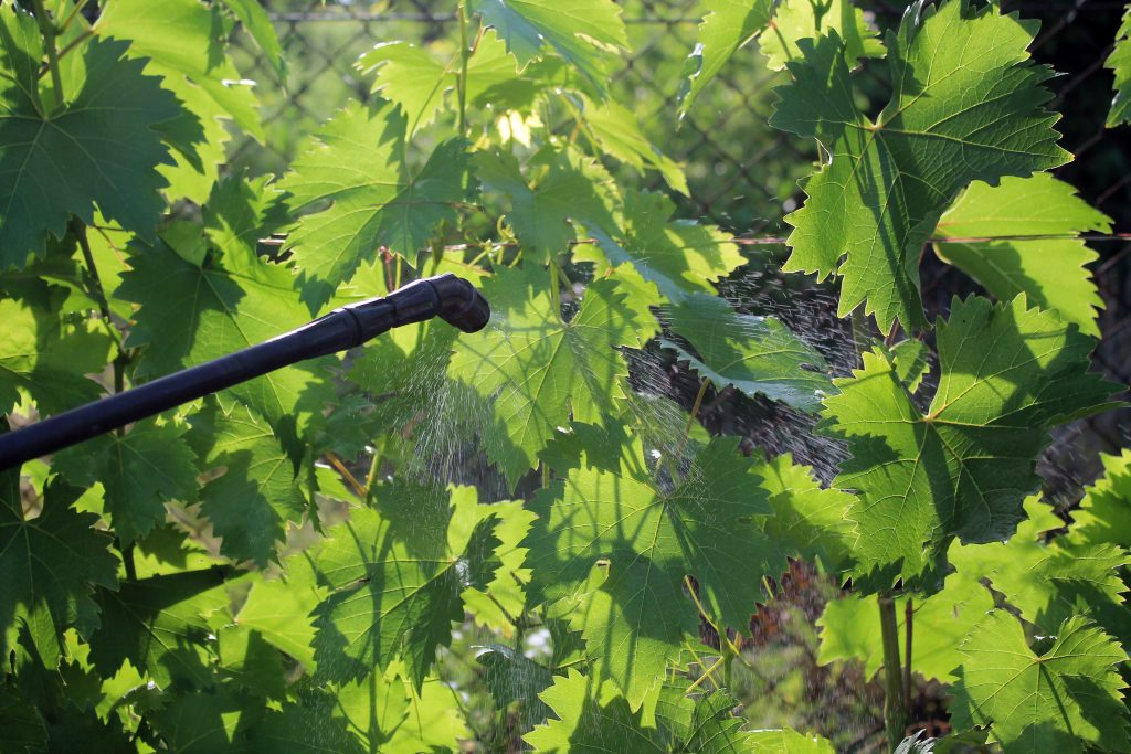 Народные средства для защиты винограда от вредителей