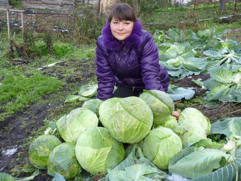 Как понять, что пора проводить сбор урожая белокочанной капусты