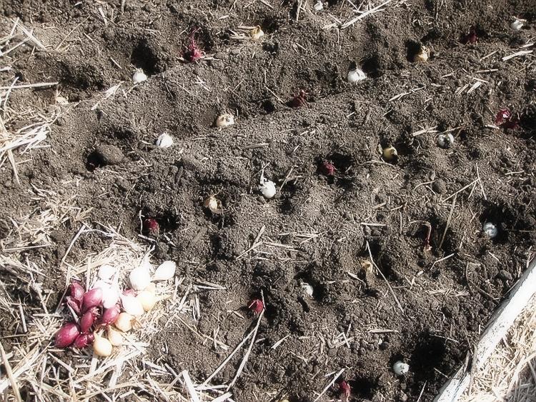 Советы по выращиванию и хранению лука-севка