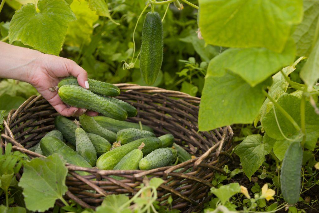 Как продлить плодоношение огурцов: 5 несложных способов