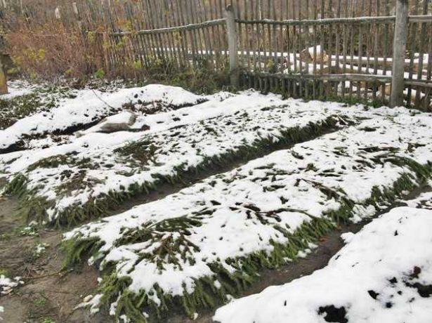 Как сохранить растения клубники зимой?