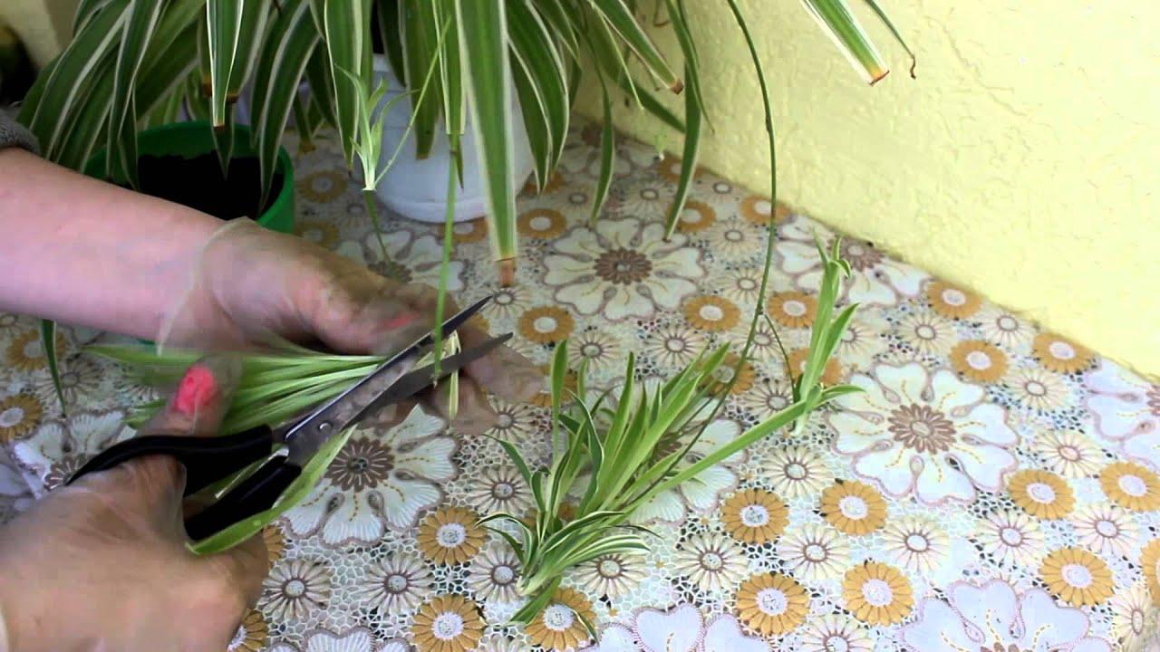Вегетативное размножение цветов