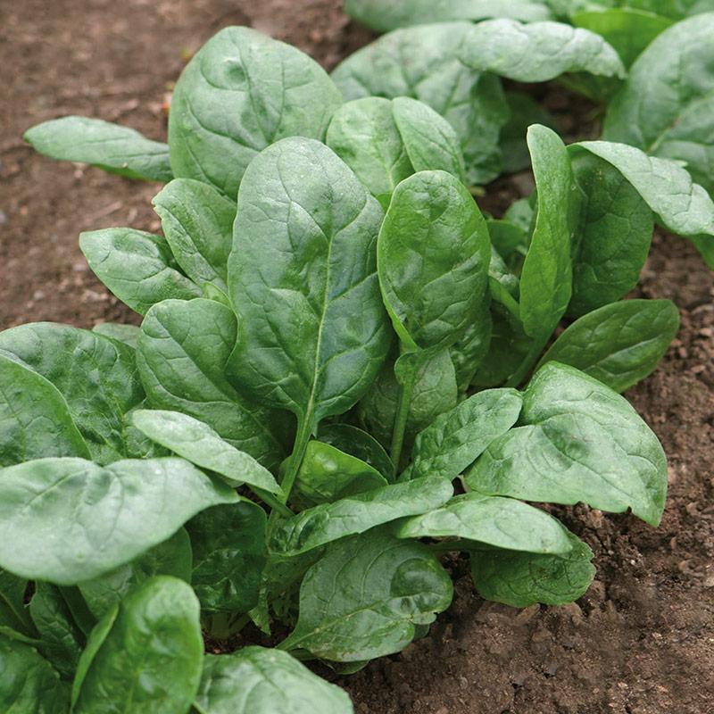 Шпинат: выращивание в огороде и полезные свойства