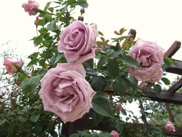 Как посадить и вырастить цветы, замаскированные под розу 🌼