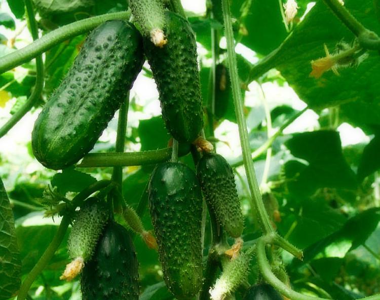 Главные правила выращивания сладких, хрустящих и ровных огурчиков