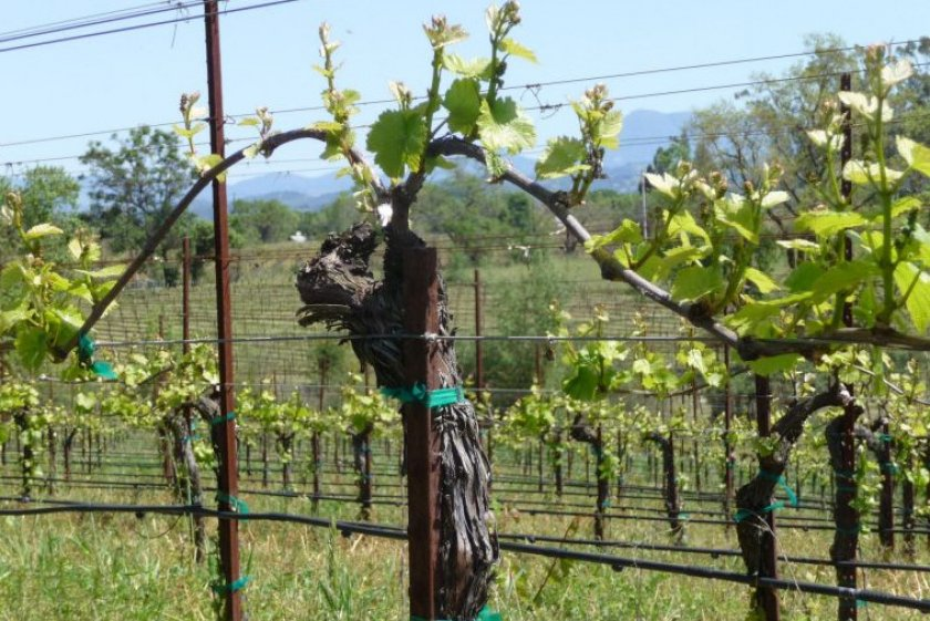 Правила выращивание винограда в средней полосе России