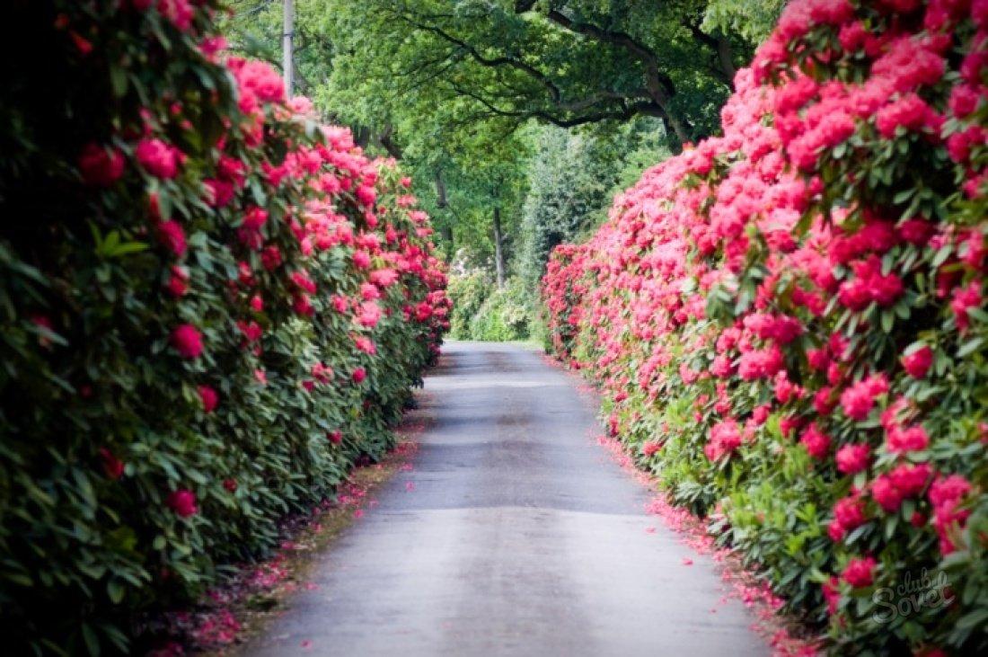 Живая изгородь: как выбрать и не прогадать