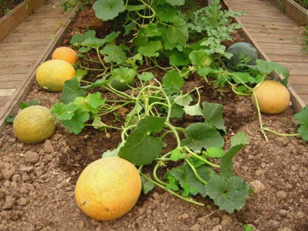 Как вырастить дыню в саду?