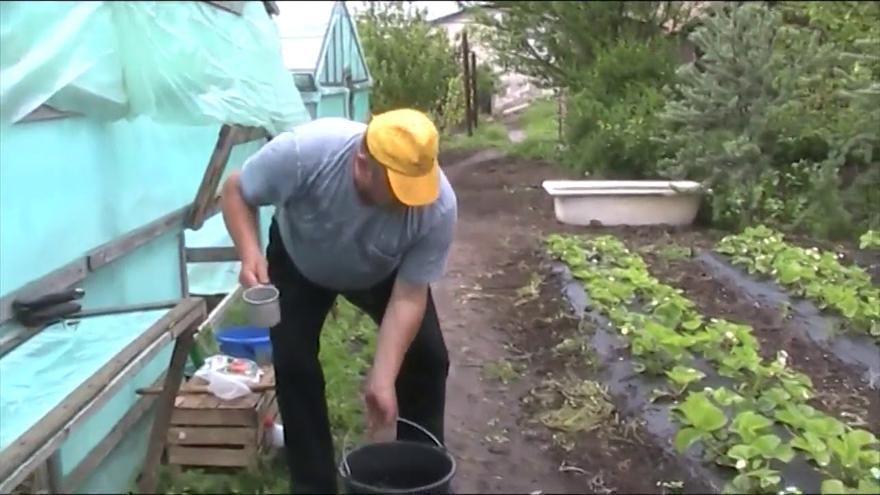 Подкормка клубники в осенний период
