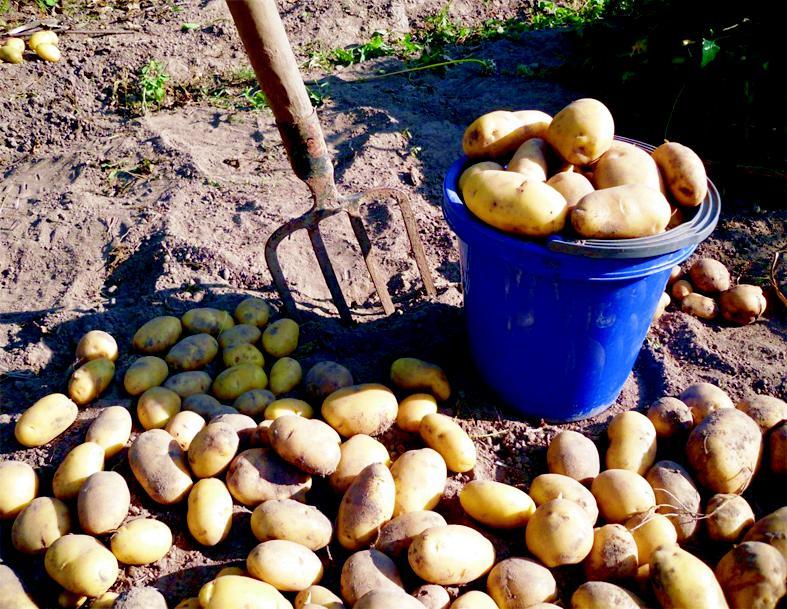 Посадка картофеля под солому (сено) личный опыт
