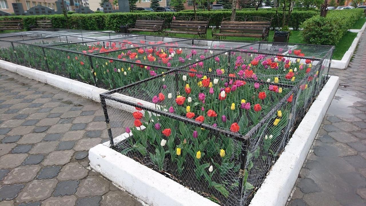 Как правильно выращивать тюльпаны