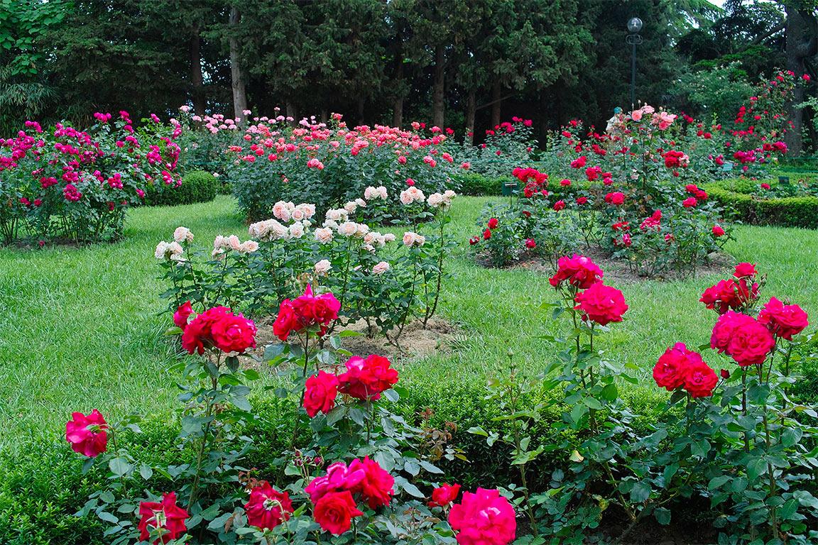 Способы обрезки роз, по их видам