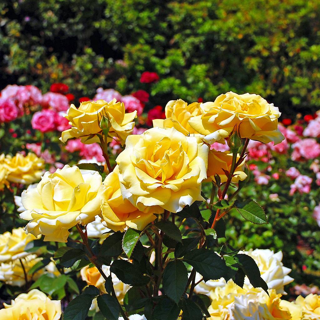 Средство от болезней роз