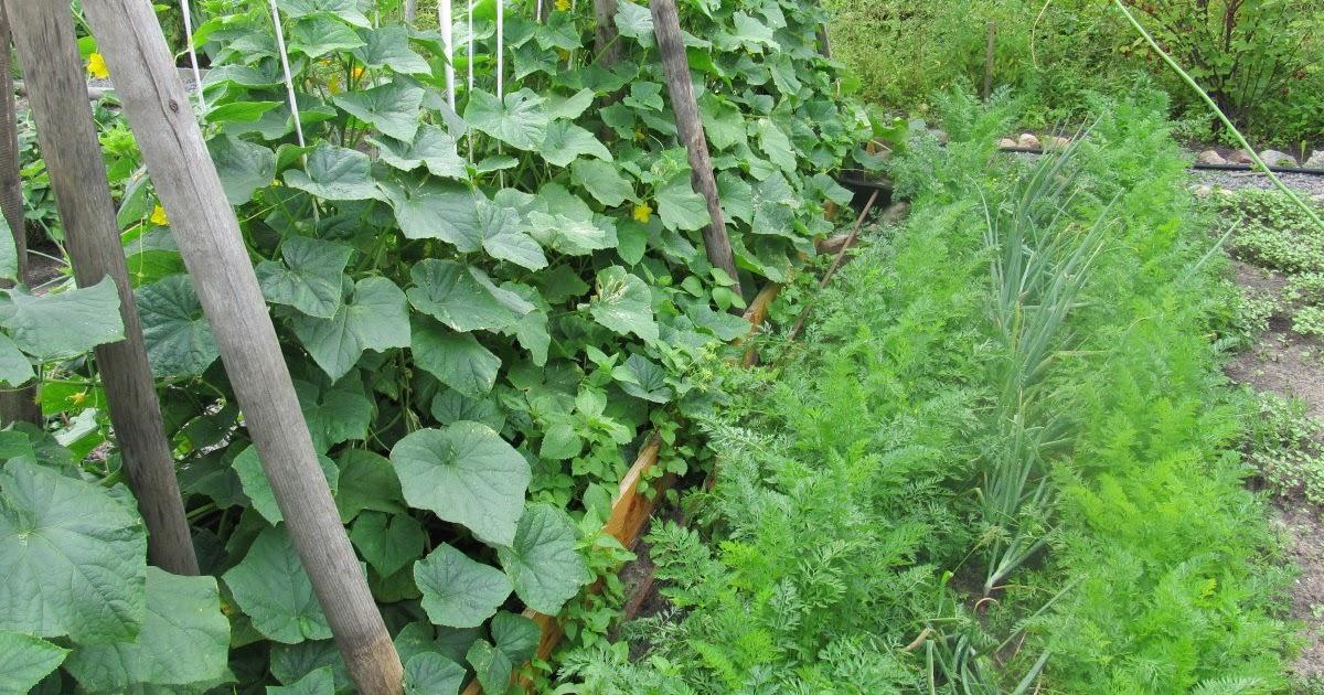 Как собрать богатый урожай огурцов?