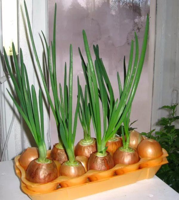 Как я выращиваю зеленый лук на подоконнике