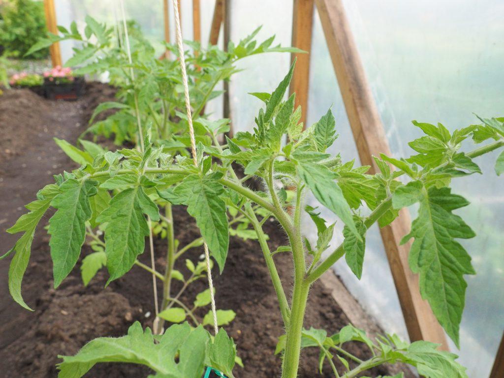 Как и когда сажать помидоры на рассаду в 2020 году по лунному календарю