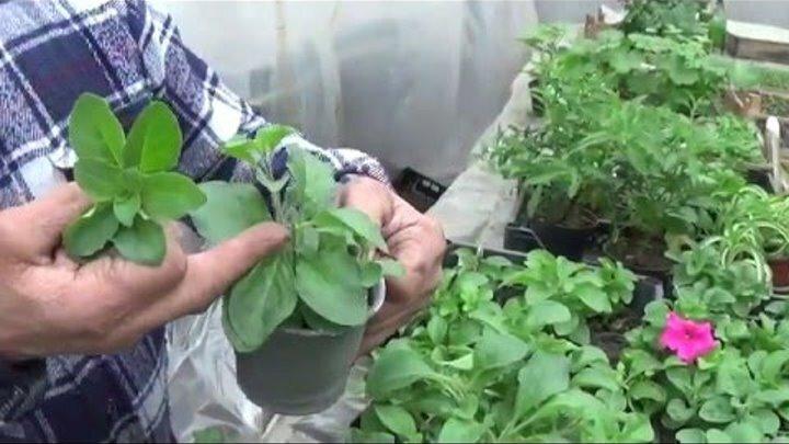 Как размножить петунию черенками весной