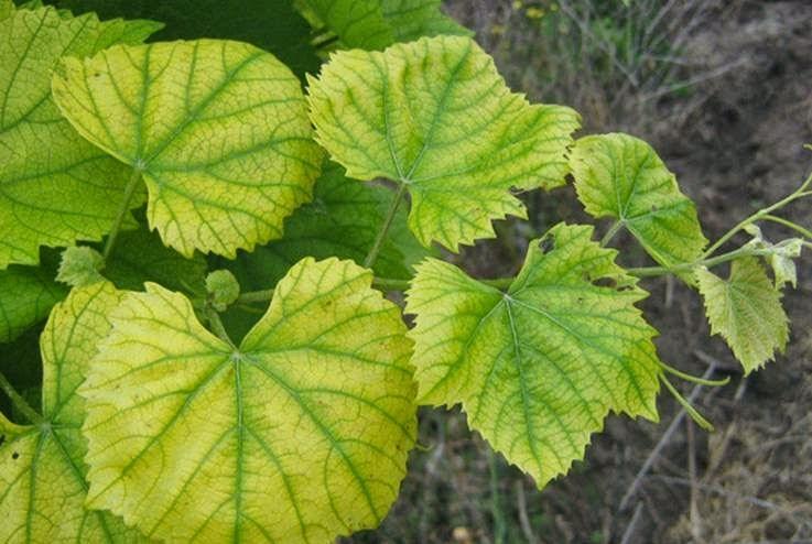 Распространенные болезни винограда: описание с фотографиями