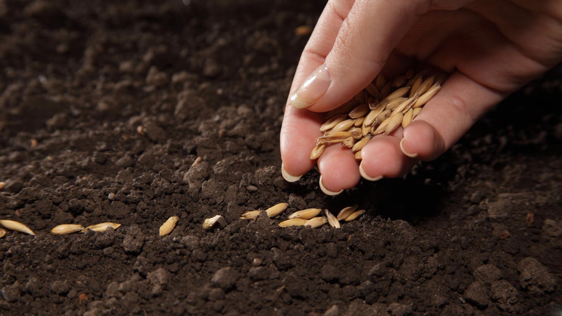 Семена кабачка Syngenta®